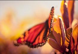 butterfly-thum