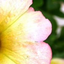 Cool  macro shot petunia by Lawrence